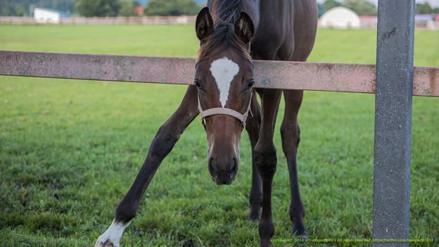 フィリーズレビュー 2015の出走予定馬コートシャルマンら分析