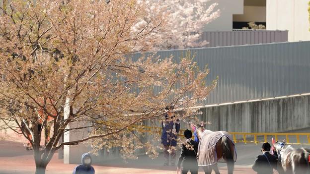 桜花賞 2015の出走予定馬ルージュバックらが挑む